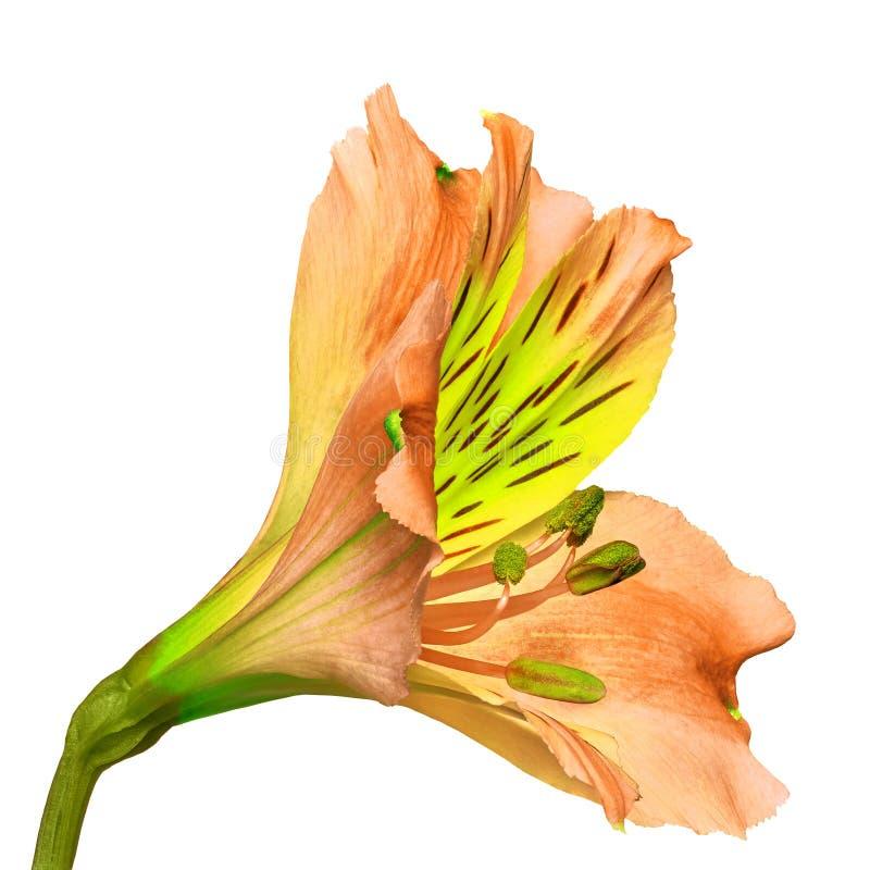 Fleur chartreuse de corail d'orchidée d'isolement sur un fond blanc Plan rapproché photo libre de droits