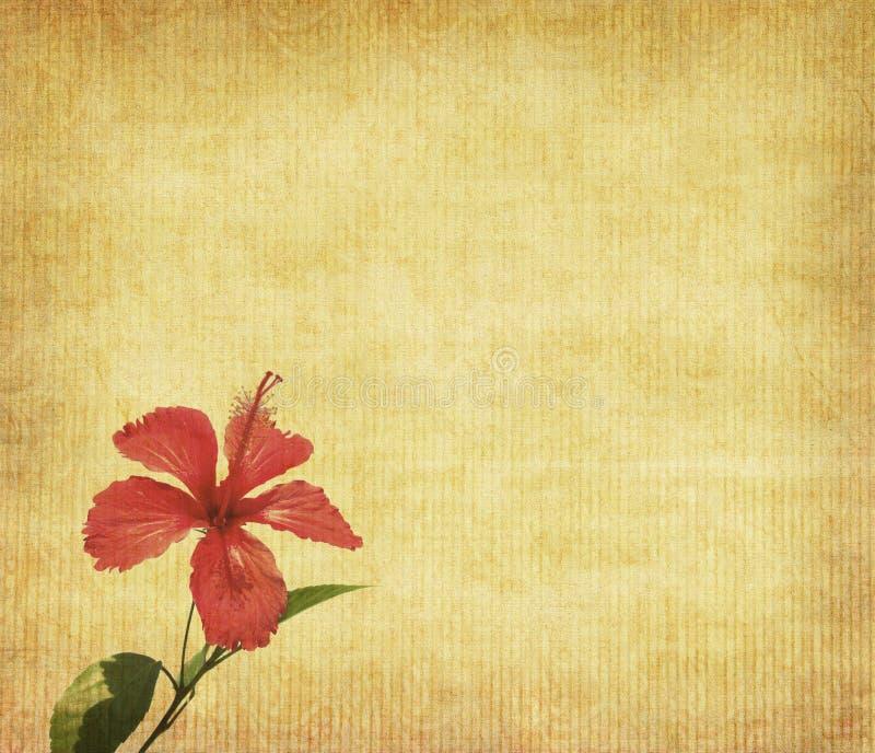 Fleur chinoise de Rosae-Sinensis de hibisci images libres de droits