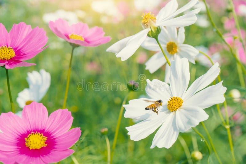 Fleur colorée d'abeille et de cosmos dans le beau jardin images stock
