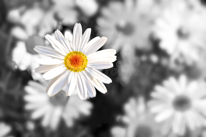 Fleur colorée de marguerite, espoir photos stock
