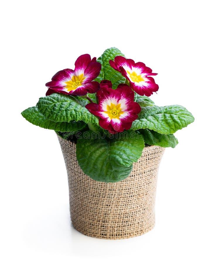 Fleur colorée de primevère dans le pot décoré de la toile à sac d'isolement sur le blanc photos libres de droits