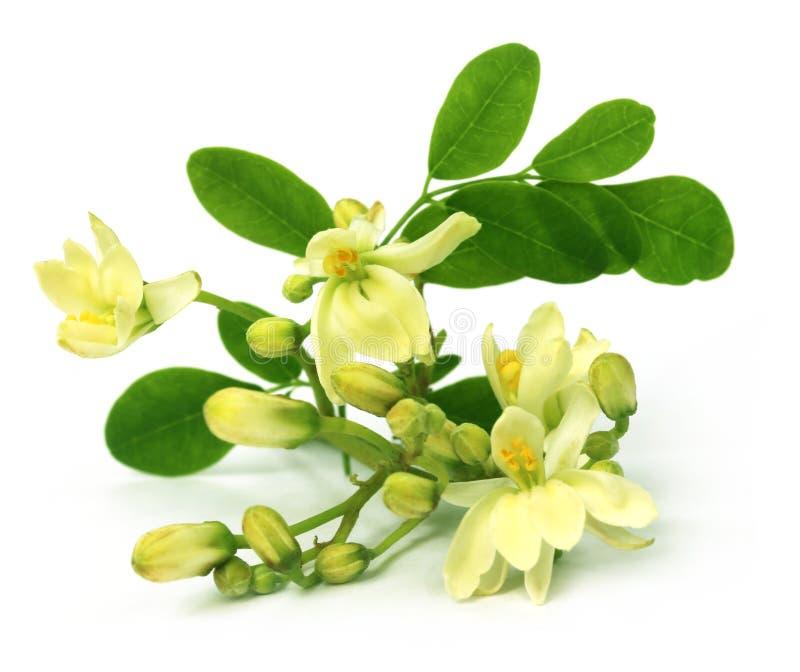 Fleur comestible de moringa photo libre de droits