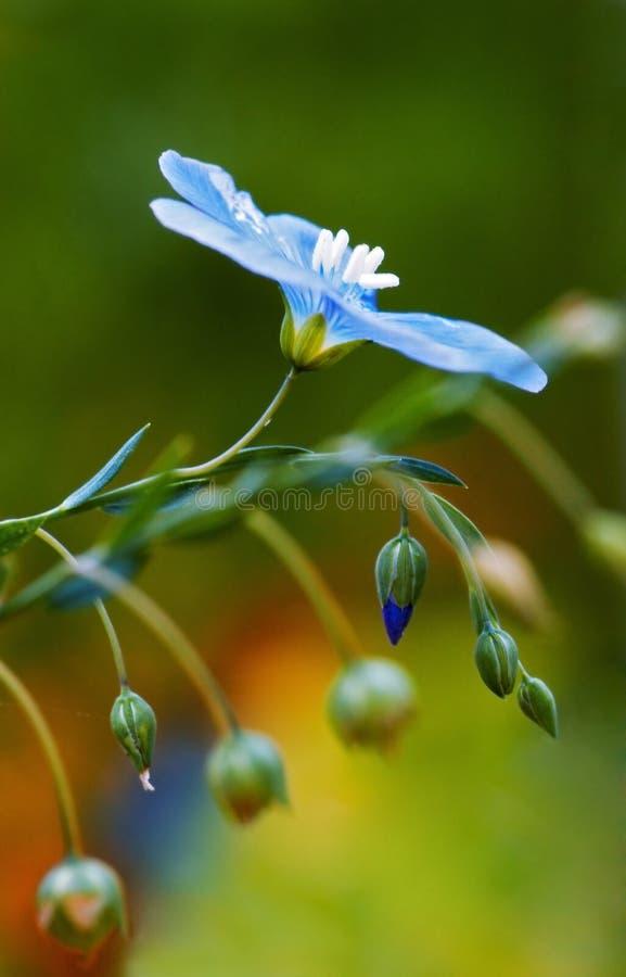 Fleur commune de lin textile image libre de droits