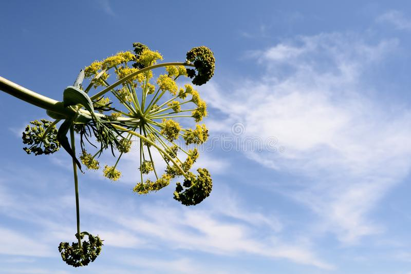 Fleur communis de Ferula photographie stock libre de droits