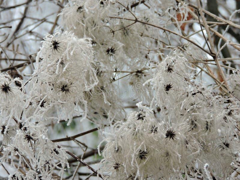 Fleur congelée avec les cristaux de glace énormes dans la nature Karlsruhe rentré photographie stock