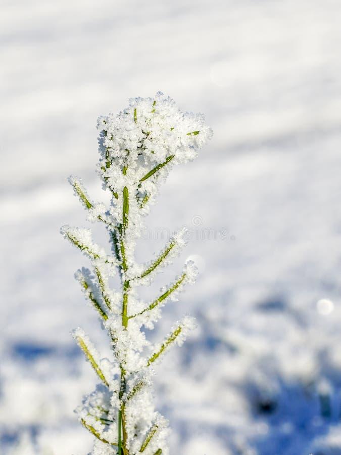 Fleur congelée, couverte de cristaux de glace dans l'automne en retard photographie stock libre de droits