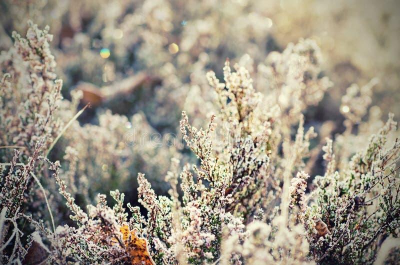 Fleur congelée de bruyère image libre de droits