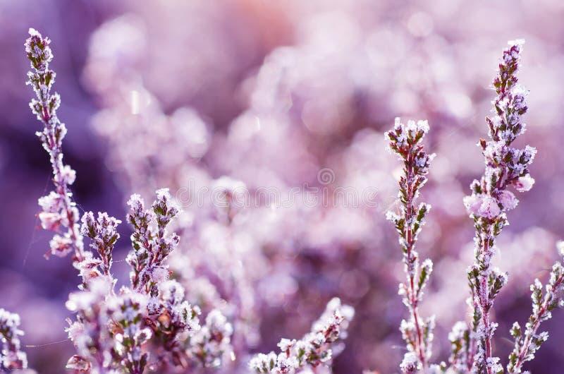 Fleur congelée de bruyère photos stock