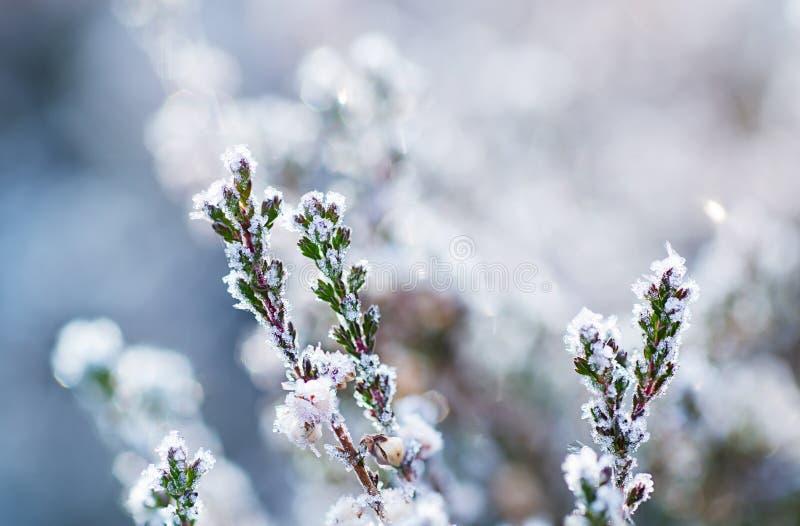 Fleur congelée de bruyère images stock