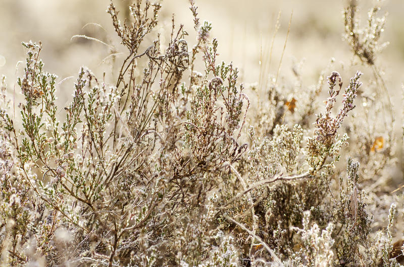 Fleur congelée de bruyère photo libre de droits