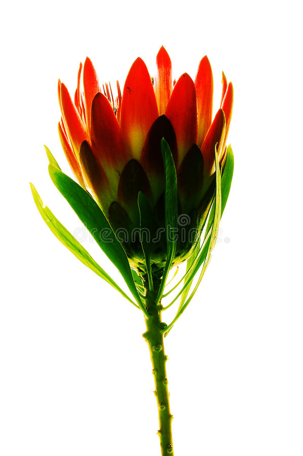 Fleur contre éclairée de protea photo libre de droits