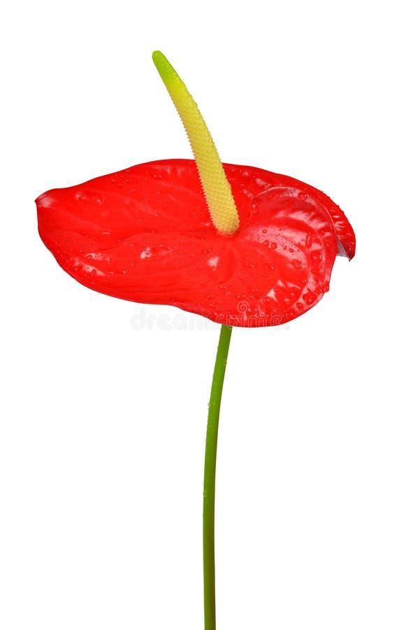Fleur couverte de rosée d'anthure images libres de droits