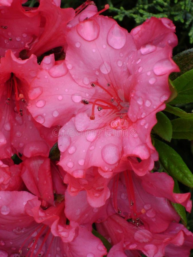 Fleur couverte de rosée rose brillante d'azalée sur le buisson image stock