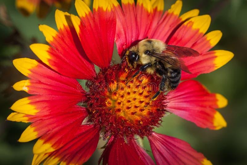 Fleur couvrante indienne avec une abeille de gaffer image stock