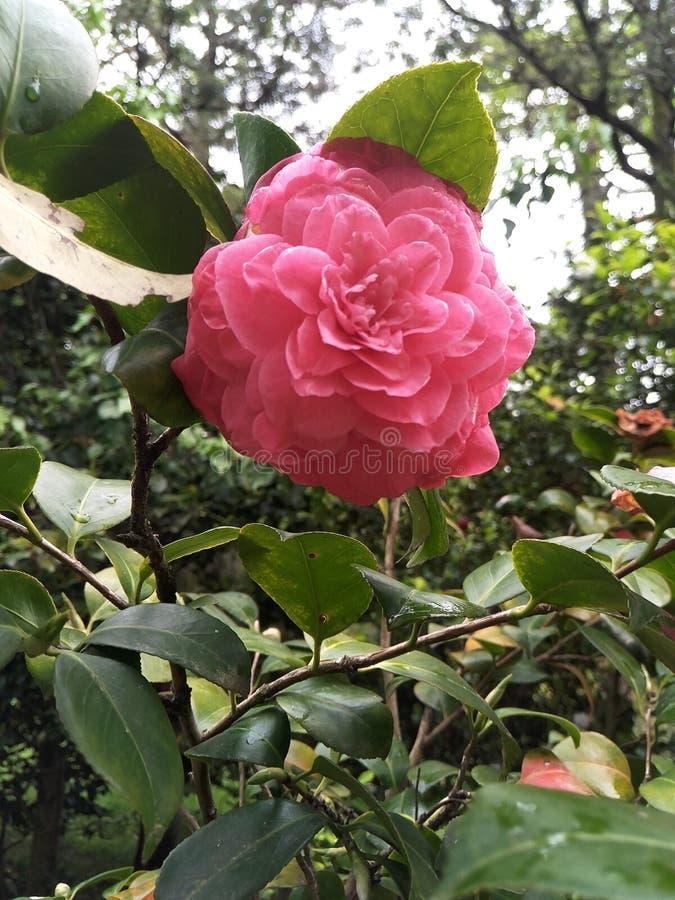 Fleur cramoisie de camélia sous forme d'étoile luxuriante multicouche dans les feuilles vert-foncé sur les branches Miroiter le f photos libres de droits