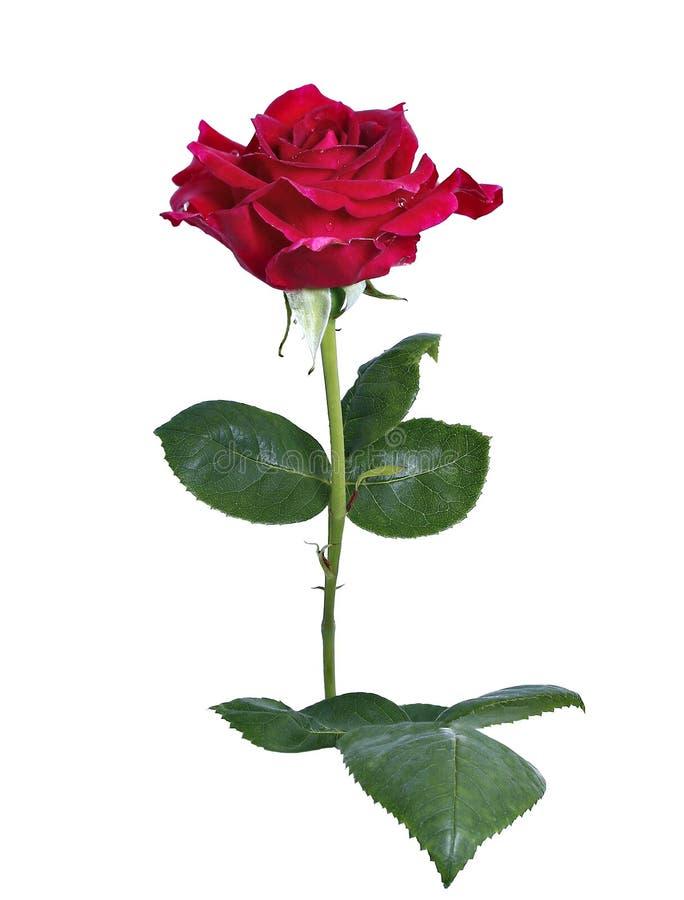 Fleur cramoisie de Rose d'isolement photos libres de droits