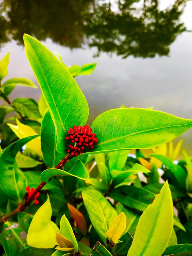 Fleur croissante rouge image stock