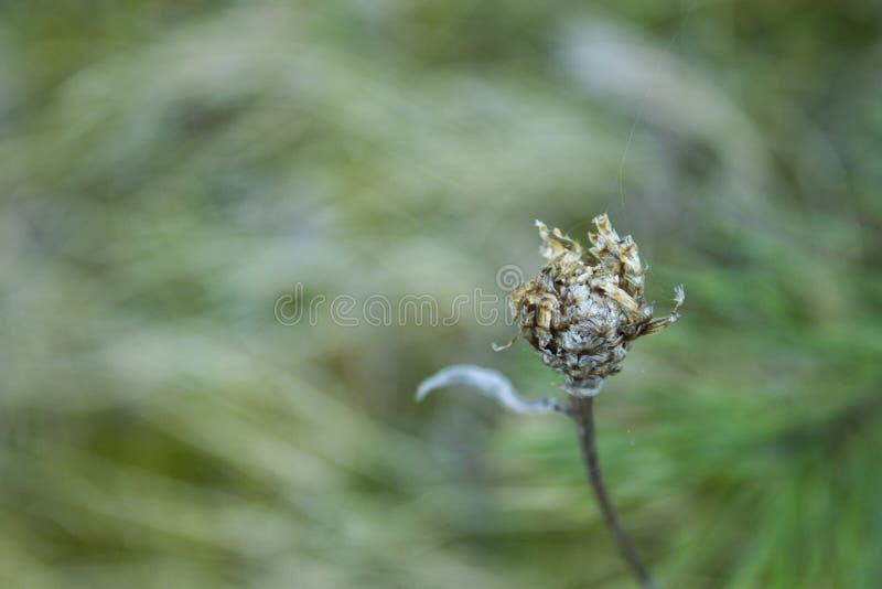 Fleur défraîchie et fanée sur le fond abstrait photographie stock libre de droits