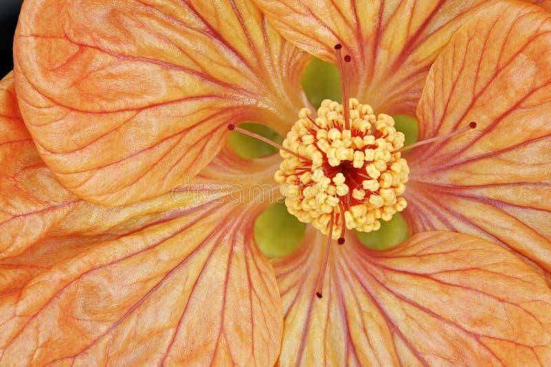 Fleur d'érable photographie stock libre de droits