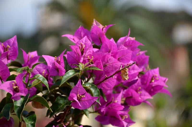 Fleur d'été de bouganvillée pourpre image libre de droits