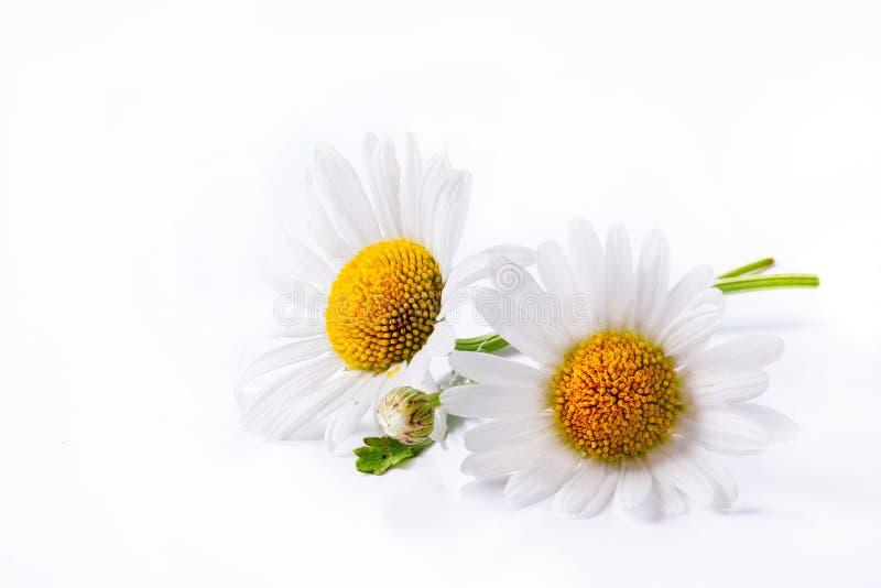 Fleur d'été de marguerites d'art d'isolement sur le blanc photo stock