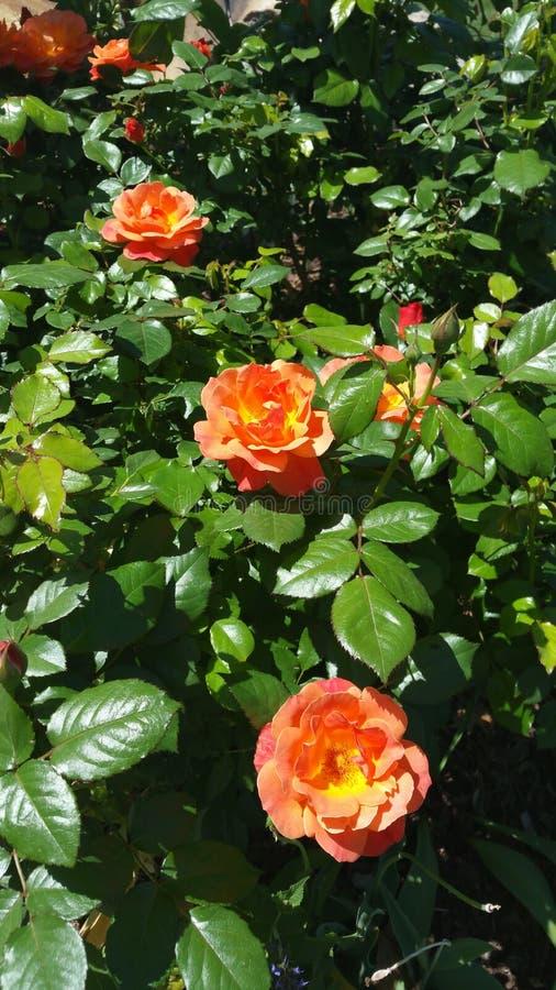 Fleur d'étés photographie stock libre de droits