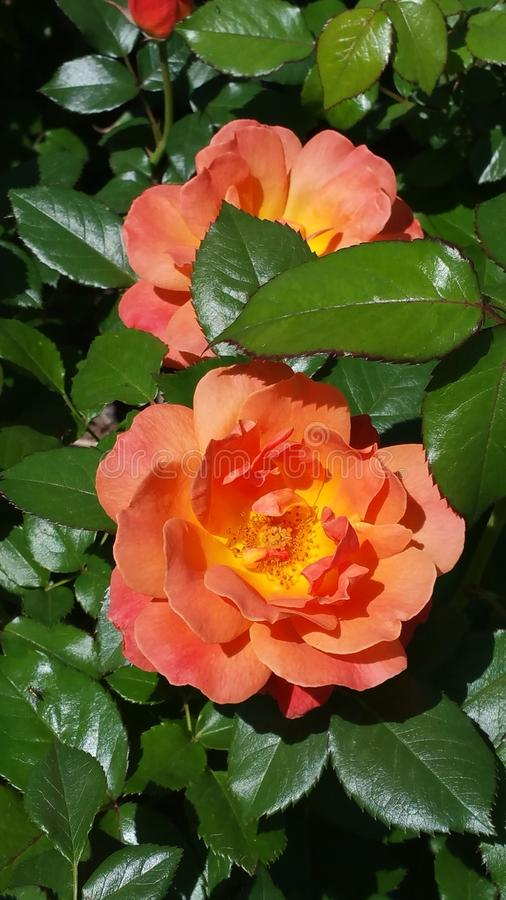 Fleur d'étés photos libres de droits
