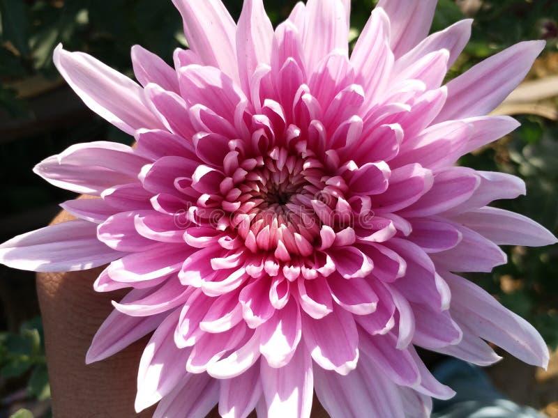 Fleur d'étoile image libre de droits