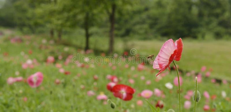 Fleur d'abeille photos stock