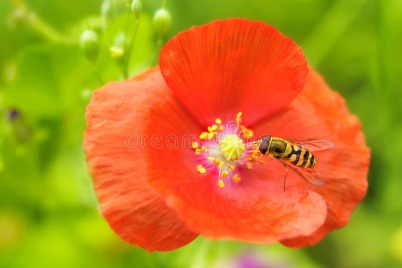 Fleur d'abeille et de pavot images stock