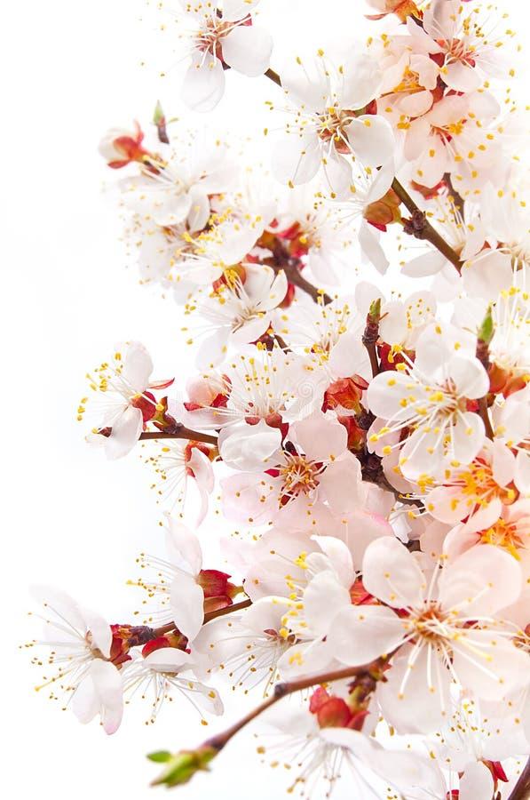 Fleur d'abricot image libre de droits