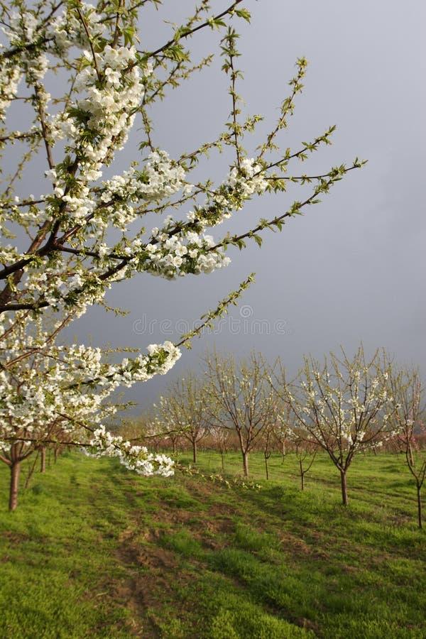 Fleur d'abricot photographie stock libre de droits