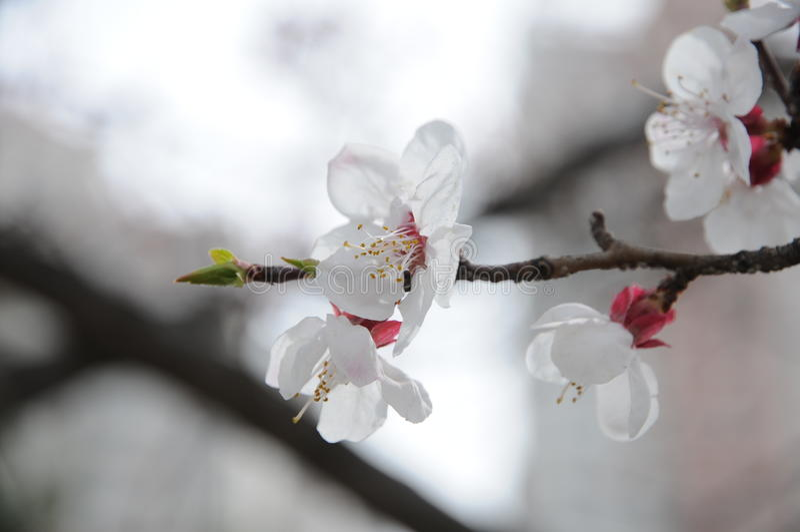 Fleur d'abricot photo libre de droits