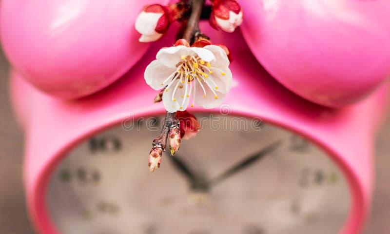 Fleur d'abricot près de l'horloge Le ressort est venu Heure de fleurir trees_ images stock