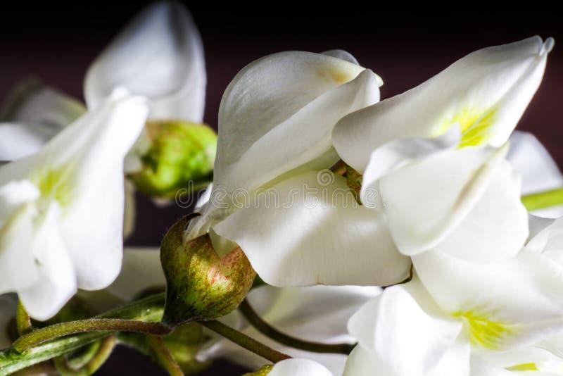 Fleur d'acacia image stock