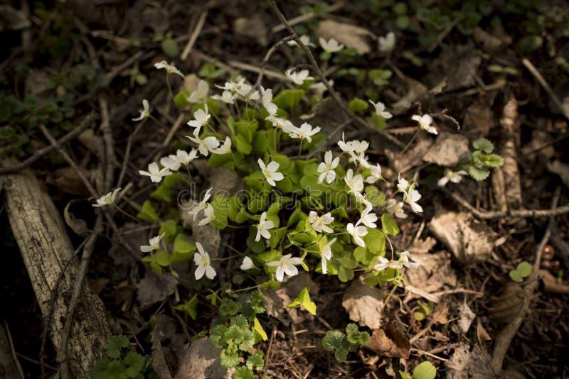 Fleur d'acetosella d'Oxalis photos stock