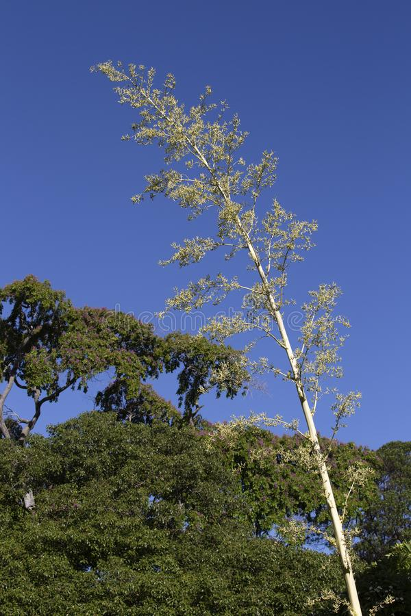 Fleur d'agave images libres de droits