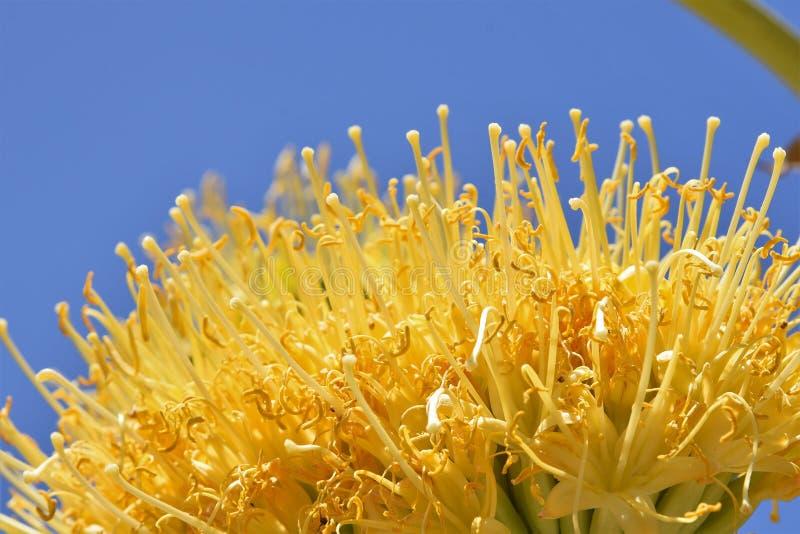 Fleur d'or d'agave contre un ciel bleu image stock