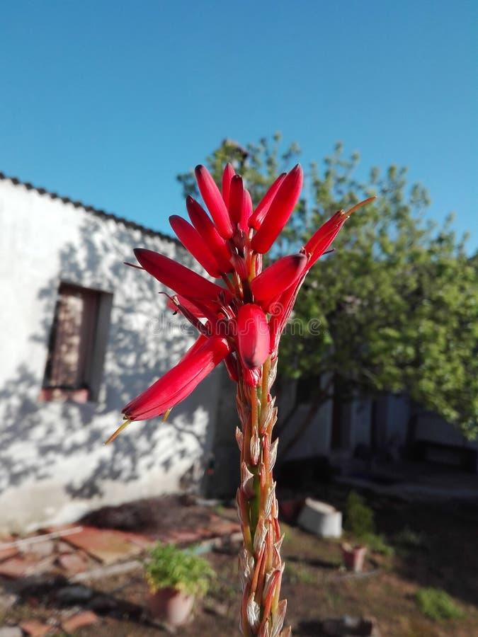 Fleur d'aloès photographie stock libre de droits