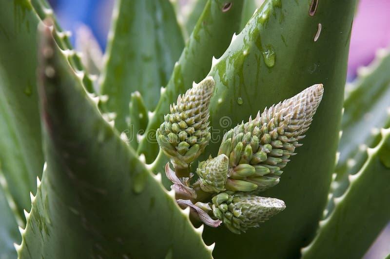 Fleur d'aloès photos stock