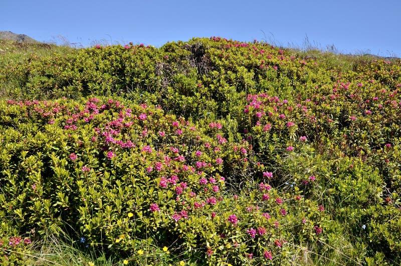 Fleur d'Alpenrose dans les Alpes français images stock