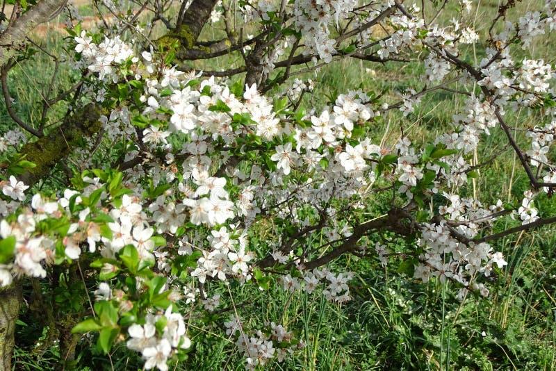 Fleur d'amande le ressort d'arbre photos libres de droits