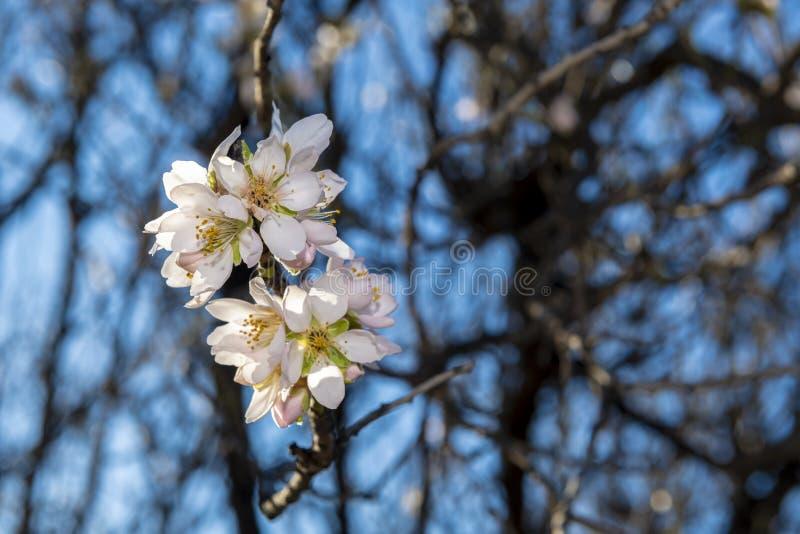 Fleur d'amande : un spectacle naturel photos stock