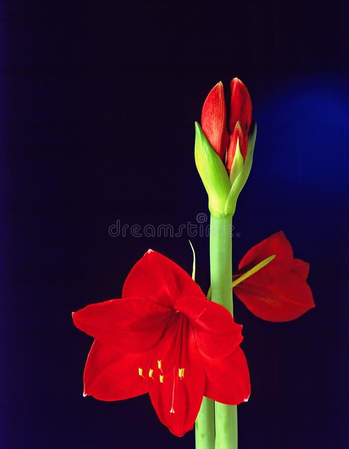 Fleur D Amarillis Photo libre de droits