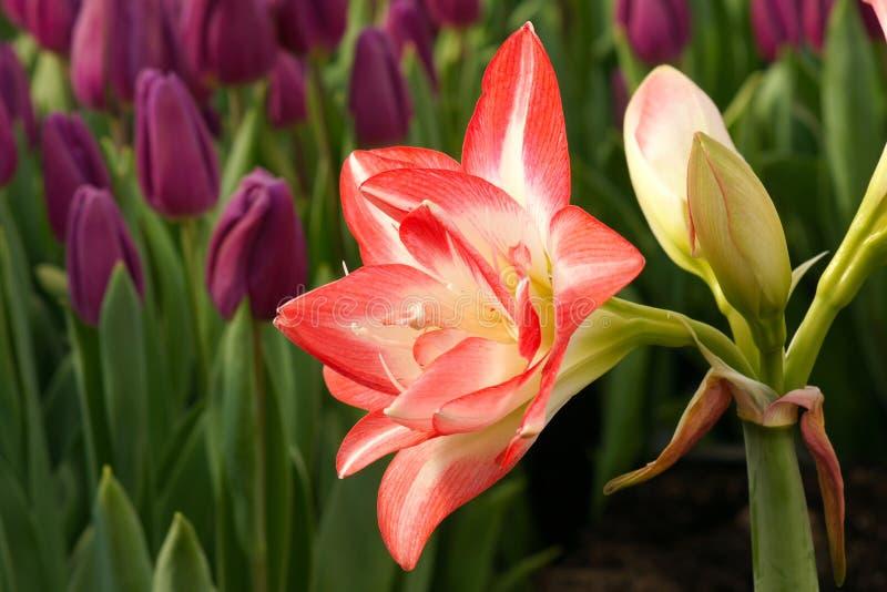 Fleur d'amaryllis photographie stock libre de droits