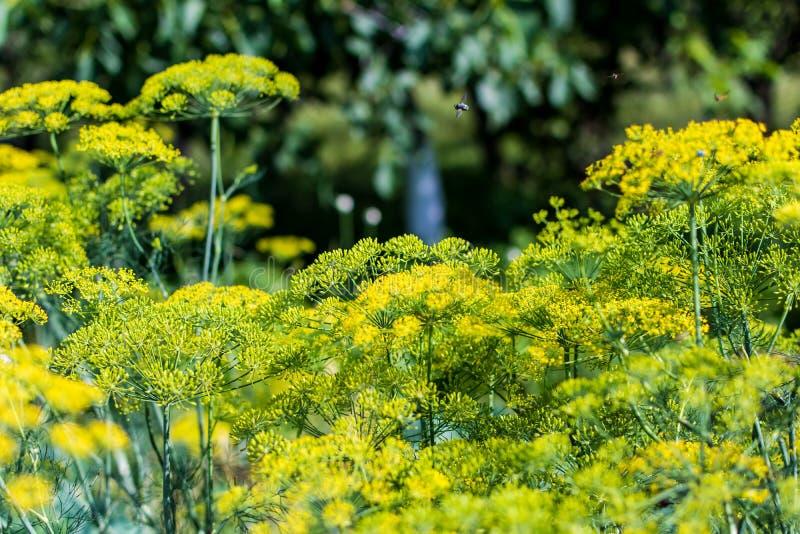 Fleur d'aneth photographie stock libre de droits