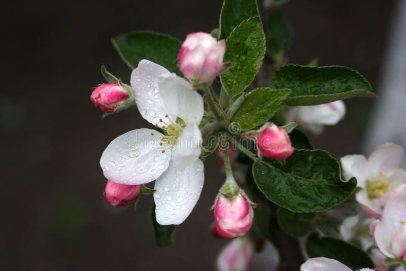 Fleur d'Apple images stock