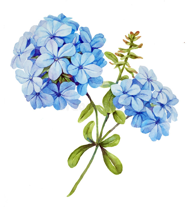 Fleur d'aquarelle de jasmin bleu illustration libre de droits