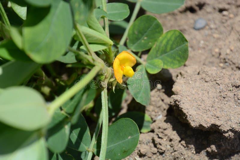 Fleur d'arachides images libres de droits