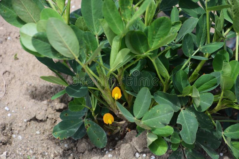 Fleur d'arachides photographie stock libre de droits